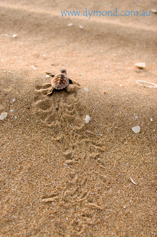 baby turtle cape york Australia wildlife