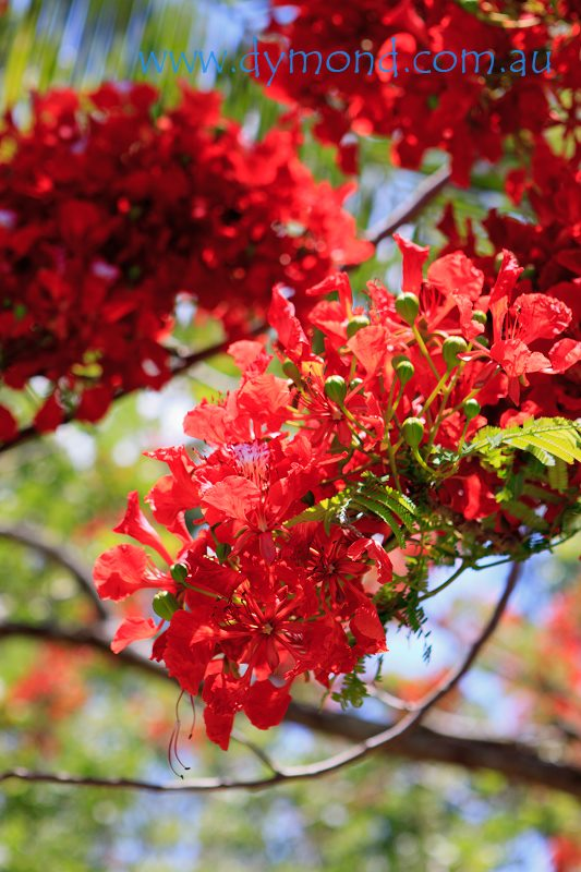 flame tree poinsiana cairns queensland flowers red
