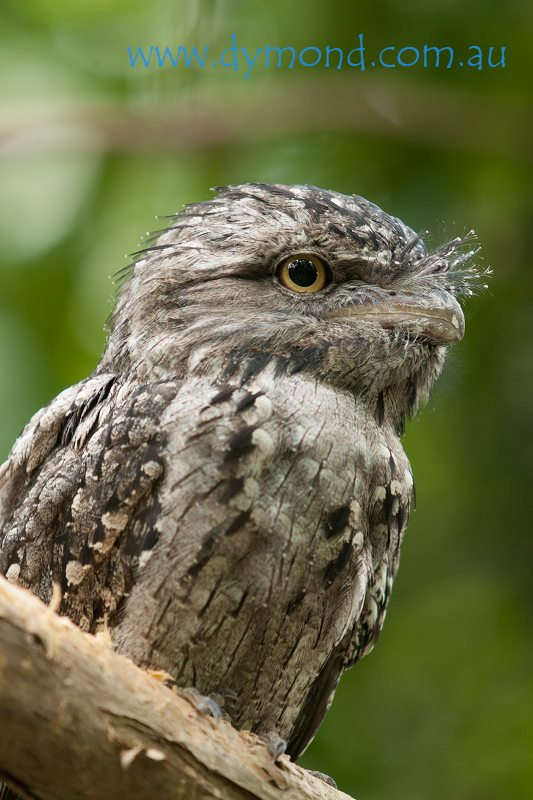 tawny frogmouth bird wildlife australia