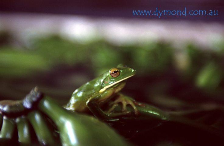 R098 Tully banana factory frog