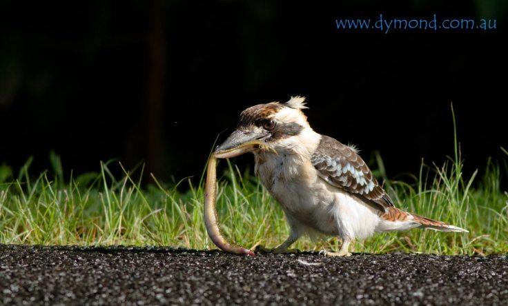kookaburra hunting feeding