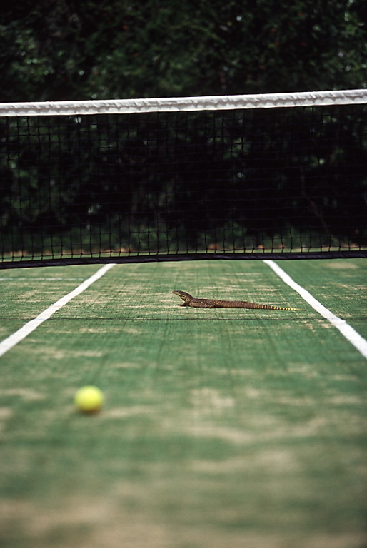 lizard island tennis court wildlife