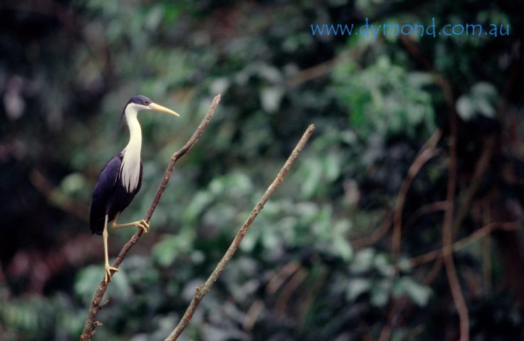 B193 A Pied Heron sitting atop a tree branch.